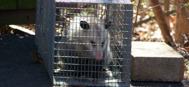 Opossum Captured in Cincinnati, Ohio