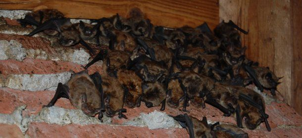 Bats in an Attic in Cincinnati, Ohio
